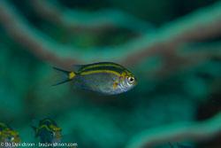 BD-161031-Pura-4184-Acanthochromis-polyacanthus-(Bleeker.-1855)-[Spiny-chromis].jpg